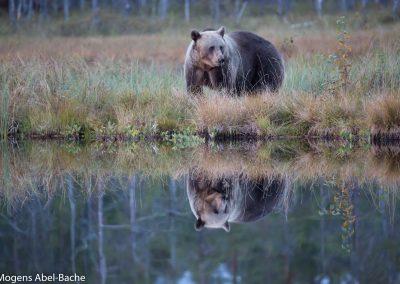 Bjørne i Finland